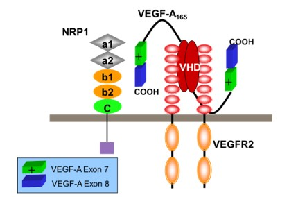VEGF Case Study Figure 1